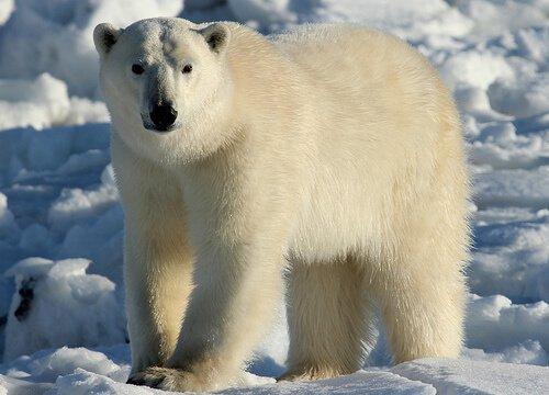 Efeitos da mudança climática nos ursos polares