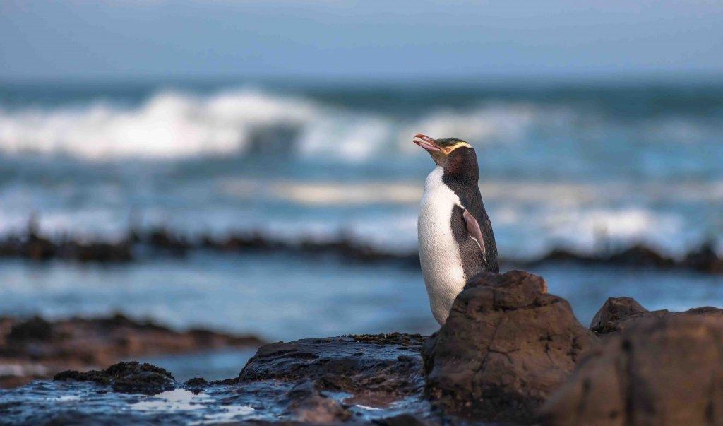 O pinguim que está em perigo por causa da pesca