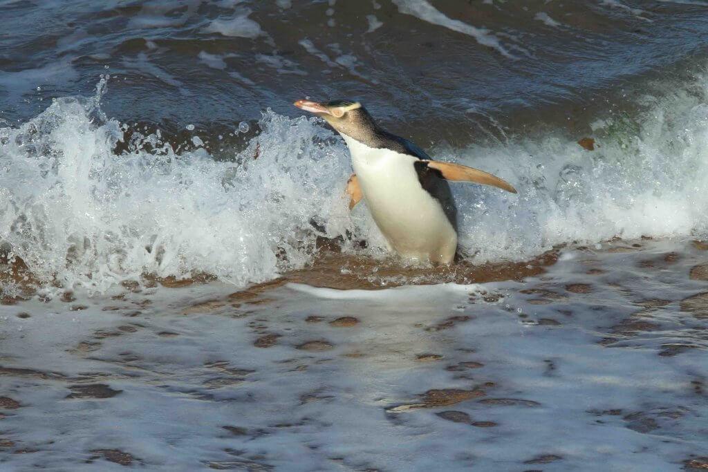 Pinguim-de-olho-amarelo