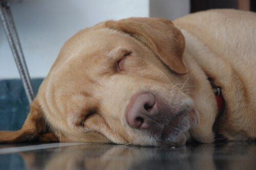 Posturas de repouso: como seu cão dorme?
