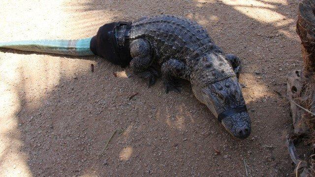 crocodilo com prótese