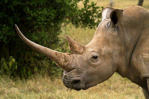 Rinoceronte: características, comportamento e habitat