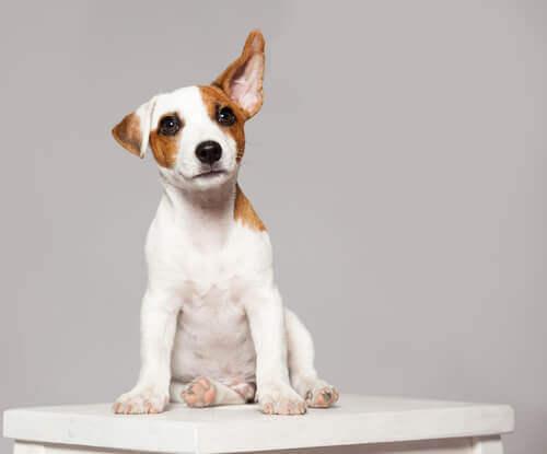 Movimentos de orelha dos cães: o que significam?