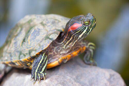 Tartaruga de orelha vermelha