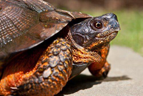 Tartarugas domésticas: conheça 4 tipos