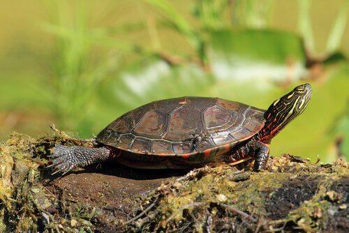 Alguns tipos de tartaruga doméstica