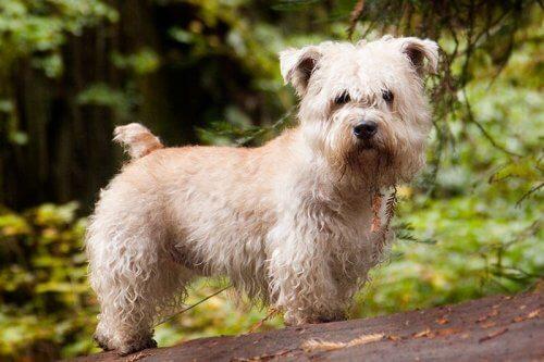 Glen do Imaal: conheça aqui esse Terrier irlandês