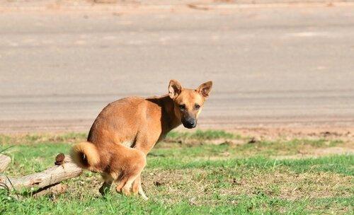 cão com diarreia