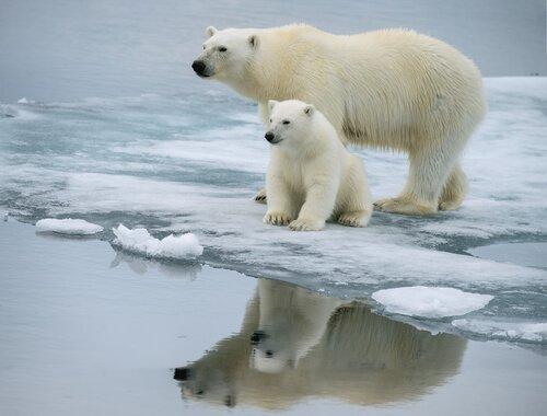 Urso polar: características, comportamento e habitat