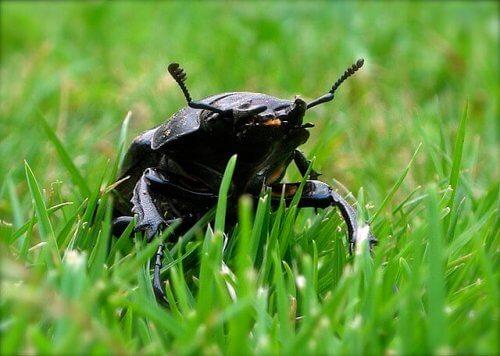 Vaca-loura: o maior escaravelho europeu