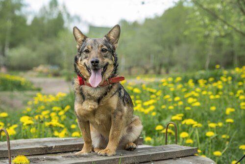Vallhund sueco: o cão dos vikings