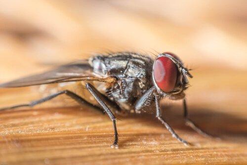 9 espécies de moscas