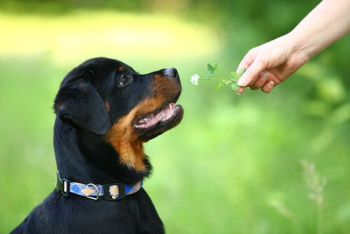 Filhote de Rottweiler recebendo uma flor