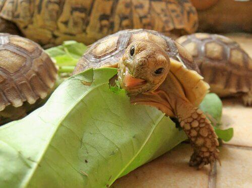 Como é a alimentação das tartarugas africanas?