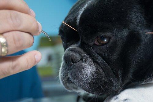 Existe quimioterapia natural para animais?