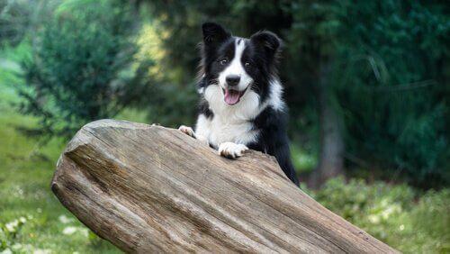 Adestramento do Border Collie: um dos cães mais inteligentes