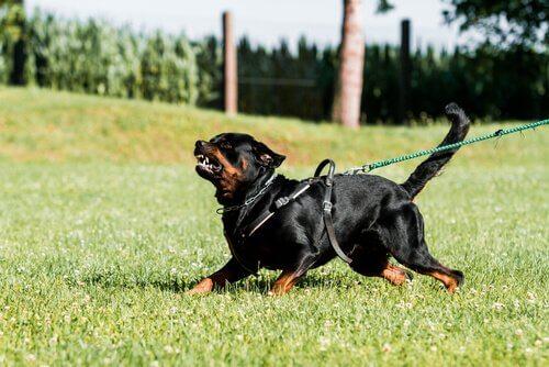 Rottweiler agressivo em treinamento