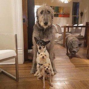 adoção de porcos e cães