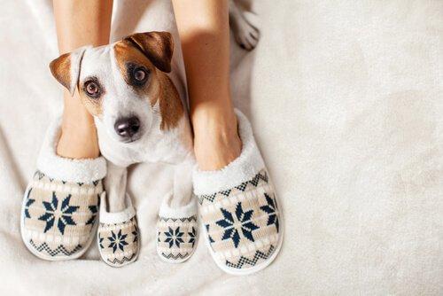 Cachorro usando pantufas