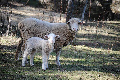 alimentação para ovelhas