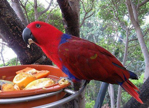 Pássaro vermelho comendo