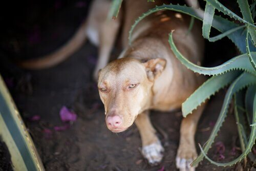 aloe vera para cães