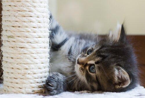 gatinho com arranhador para gatos