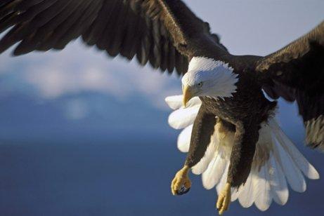 Aves de rapina diurnas: águia