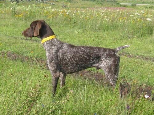 O braco alemão: um cão caçador