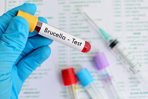 Brucelose bovina: o que é, sintomas e tratamento