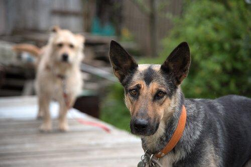 cães mestiços e de raça