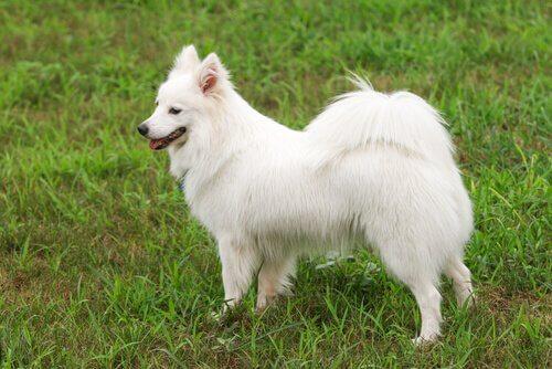 Cão branco, rabo sobre a espalda