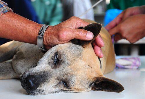 esplenomegalia em cães