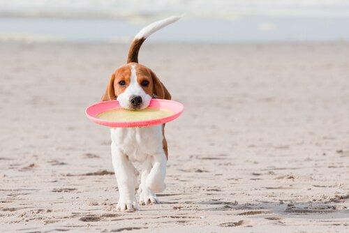 Cachorro com frisbee na praia
