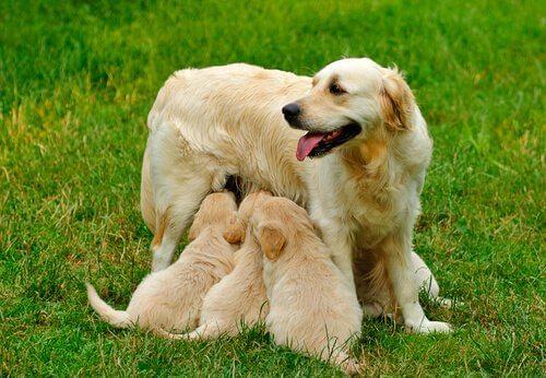 Cadela amamentando filhotes
