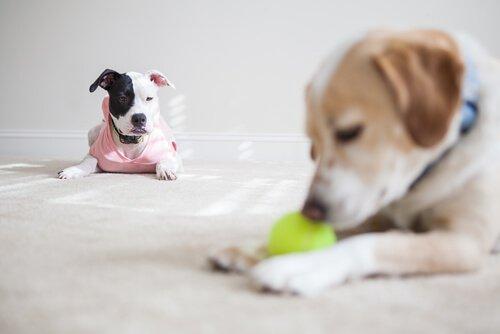 Cães sentem ciúmes de outros cães