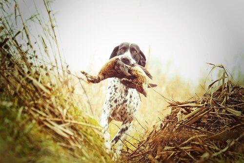 Os diferentes tipos de cães de caça