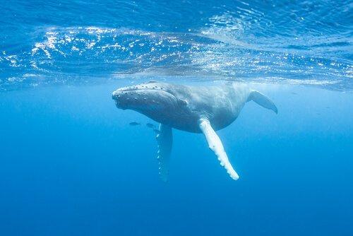O canto das baleias