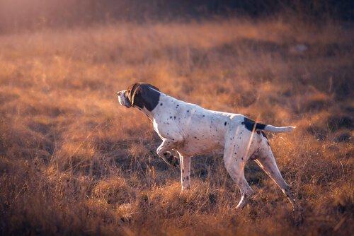 cão de caça galgo