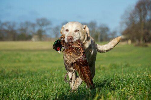 cão de caça com uma perdiz na boca