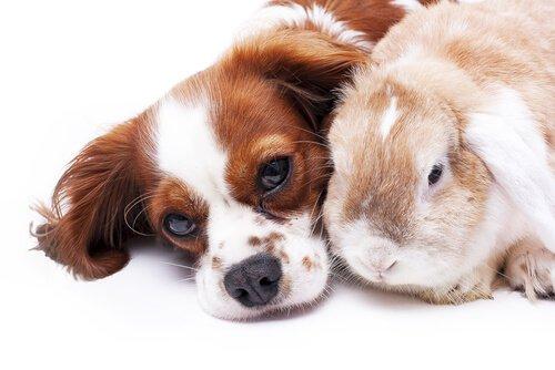Compatibilidade entre cães e coelhos