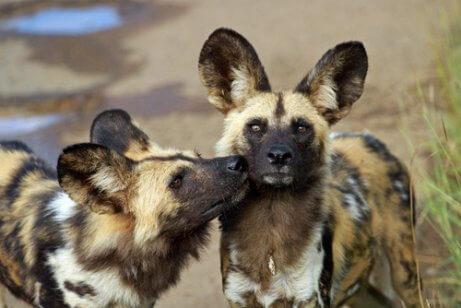 Mabeco: o cão-selvagem-africano ameaçado de extinção