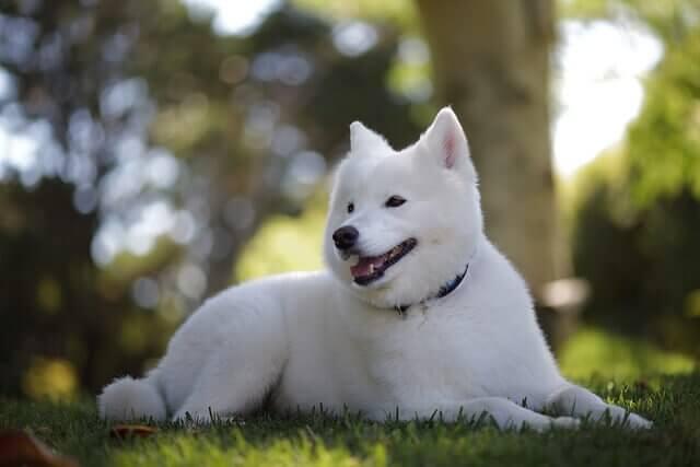 Kishu, um cão bonito, valente e dócil