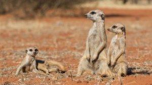 Características do suricato