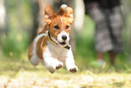 cão terrier