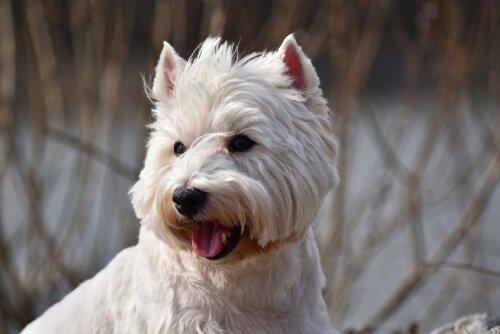 caráter do cão terrier