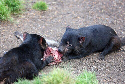 carniceiros demônio da tasmânia