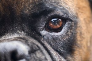 pupila do cachorro
