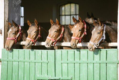Cavalos devem ficar no estábulo ou ao ar livre?