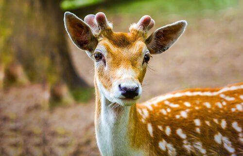 Filhote de veado-vermelho, famoso pelo filme Bambi